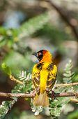 Masked Weaver Bird In Tree