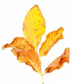 Dry Yellowed Autumn Leaf