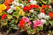 picture of begonias  - colorful begonia - JPG