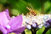 Hoverfly Sitting On Hydrangea