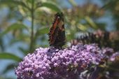 picture of butterfly-bush  - This is Buddleia - JPG