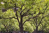 picture of canopy  - Canopy of treetops in backlight view from below