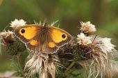 stock photo of gatekeeper  - Gatekeeper Butterfly resting on thistle seeds - JPG