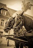 picture of carriage horse  - Horses of wedding carriage in Cracow  - JPG