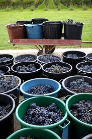 stock photo of bordeaux  - Grapes in containers after harvest near Bordeaux - JPG