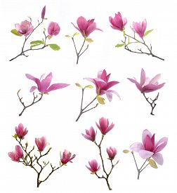 stock photo of japanese magnolia  - collection of pink magnolia flowers isolated on white background - JPG