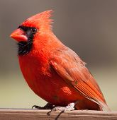 stock photo of cardinals  - Bright red cardinal standing on a plank that is brown - JPG