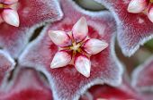 Red wax plant flower