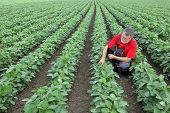 picture of soybeans  - Farmer or agronomist examine soybean plant in field using tablet - JPG