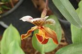 The Orchid Red, Yellow, Bordo