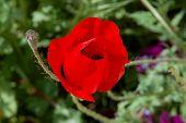 The Red Poppy