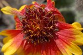 The Red Yellow Aster