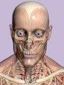Anatomy A Head,  Transparant With Skeleton.