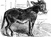 Domesticated Donkey, Ass, Asinus Vulgaris Or Equus Africanus Asinus Old Vintage Engraving.