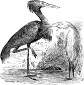 Engraving Of A Reddish Egret (ardea Rufa Or Egretta Rufescens)
