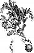 Cowberry Or Vaccinium Vitis Idaea Vintage Engraving