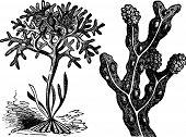 Chondrus Crispus , Irish Moss Or Fucus Vesiculosus, Bladderwrack Engraving