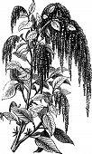 Foxtail Amaranth Or Amaranthus Caudatus Vintage Engraving.