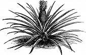 Pineapple, Ananassa Sativa Or Ananas Comosus Old Vintage Engraving.