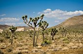 Scenic Rocks And Trees In Joshua Tree National Park