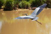 Blue Heron Soaring Over A Lake, Large Wingspan