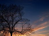 Trees: Black Walnut In Sunset
