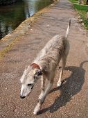 Deerhound On The River Path