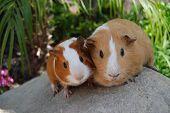 Cute Boar Pair