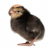 Chick, Gallus gallus, 2 days old, with a piece of its shell on its head in front of white background