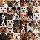 foto of bull  - Collage of 36 dog heads - JPG