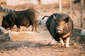 Small Household Black Pig Running In Farm Yard. Pig Farming Is Raising And Breeding Of Domestic Pigs poster