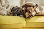 Cat And Dog Lying Together Under Blanket On Sofa poster