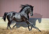 Beautiful black Andalusian horse running in paddock at sunset. poster