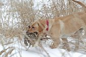 Yellow Labrador with a pheasant