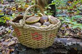 Basket With Autumn Mushrooms, A Full Basket Of Mushrooms Was Collected In The Woods poster