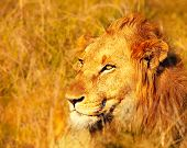 Beautiful Wild African Lion