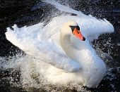 Magnificent Swan