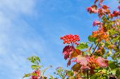 Red Berries Of A Viburnum With Red And Green Leaves On A Bush Close-up Against A Blue Sky With White poster