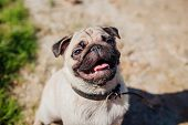 Pug Dog Looking Up. Happy Puppy Waiting A Command Of Master. Dog Chilling Outdoors poster