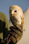 Barn Owl on Gauntlet