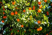 Orange Tree Branches Full Of Fresh Oranges poster