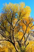 image of cottonwood  - Cottonwood tree leaves turning vibrant yellow colors during fall - JPG