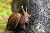 Large Brown Snail Climbing On Side Of Rock