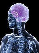 X-Ray Torso And Head