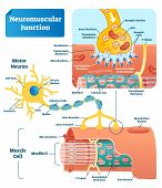 Neuromuscular Junction Vector Illustration Scheme. Labeled Medical Infographic. Motor Neuron And Mus poster