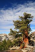 Sierra Juniper Tree