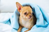 Cute Chihuahua Doggy Sitting Sofa Covered Blue Blanket Small Dog Waiting For Walking Breed Of Small  poster