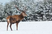 Single Adult Noble Deer With Big Beautiful Horns With Snow Near Winter Forest. European Wildlife Lan poster