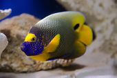 Fish Angelfish.