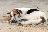The Homeless Dog Rests And Lies On The Sand On The Beach During The Summer Holidays.   Rest On The  poster